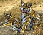 Sariska-Tiger-Rajasthan_n&wl
